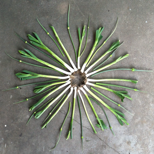 leeks-in-a-circle-pattern